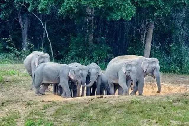 云南野象闖進茶葉地,一采茶農遭攻擊致死